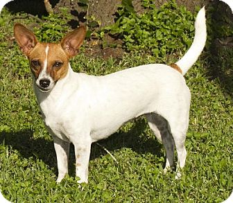 Rat Terrier/Jack Russell Terrier Mix Dog for adoption in Santa Fe, Texas - Tink-N-Great player