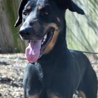 Adopt A Pet :: Data AKA 'Hans' - Grand Prairie, TX