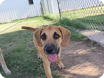 Hound (Unknown Type)/Black Mouth Cur Mix Puppy for adoption in Middlebury, Connecticut - Tabi