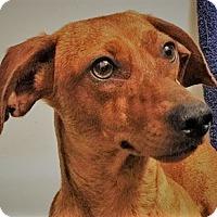 Adopt A Pet :: Copper - Decatur, GA