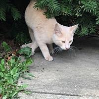 Adopt A Pet :: Kitten - Beloit, Ohio - Alliance, OH