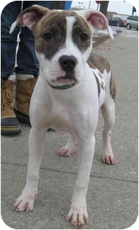 Pit Bull Terrier Puppy for adoption in Chicago, Illinois - Peaches
