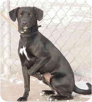 Miniature Pinscher/Retriever (Unknown Type) Mix Dog for adoption in Austin, Minnesota - Precious