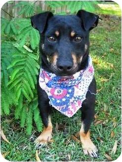 Corgi/Miniature Pinscher Mix Dog for adoption in Niceville, Florida - Ralphie