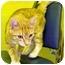 Photo 3 - Domestic Shorthair Cat for adoption in HARRISONVILLE, Missouri - DEWEY