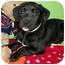 Photo 3 - American Bulldog/Labrador Retriever Mix Puppy for adoption in Struthers, Ohio - Uggs