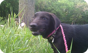 Labrador Retriever Mix Puppy for adoption in Silver Lake, Wisconsin - Hunter