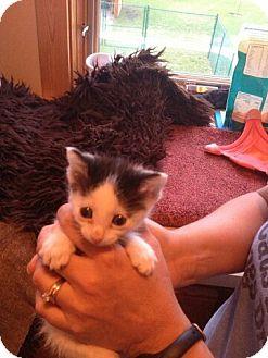 Domestic Shorthair Kitten for adoption in North Kansas City, Missouri - Charlotte PENDING