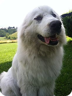 Great Pyrenees Dog for adoption in Honaker, Virginia - Keta