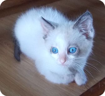 Ragdoll Kitten for adoption in Proctorville, Ohio, Ohio - Squirt