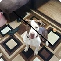 Adopt A Pet :: Rhea - Roseville, MI