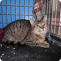 Adopt A Pet :: Ginger Snap - Warren, MI