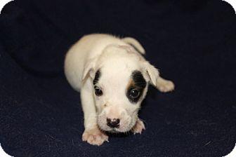 Shepherd (Unknown Type)/Labrador Retriever Mix Puppy for adoption in Waldorf, Maryland - Annie