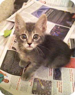 Domestic Shorthair Kitten for adoption in Fredericksburg, Virginia - Elizabeth