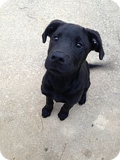 Labrador Retriever Mix Puppy for adoption in Albemarle, North Carolina - Spencer
