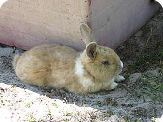 Lop-Eared Mix for adoption in Christmas, Florida - Rabbits (2 males)
