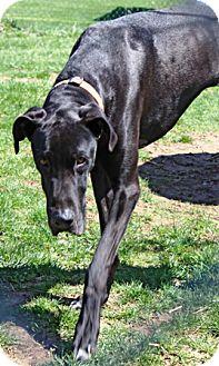 Great Dane Dog for adoption in Oswego, Illinois - I'M ADOPTED Duke Decker :)