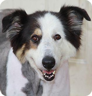 Collie/Old English Sheepdog Mix Dog for adoption in Allentown, Pennsylvania - Madison
