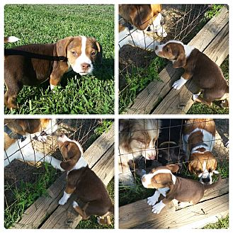 Boston Terrier/Beagle Mix Puppy for adoption in Bloomfield, Kentucky - Cindy Lou