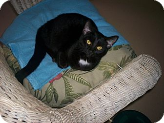 Domestic Shorthair Cat for adoption in Newburgh, Indiana - Juliet