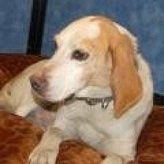 Hound (Unknown Type) Mix Dog for adoption in Stafford, Virginia - Rodney