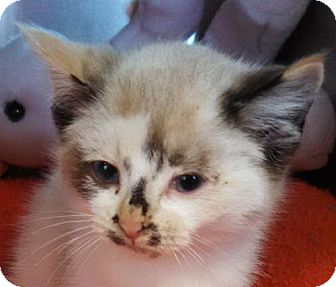 Siamese Kitten for adoption in Maquoketa, Iowa - Dotty