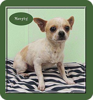 Chihuahua Dog for adoption in Hillsboro, Texas - Murphy