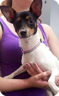 Rat Terrier Mix Dog for adoption in Plainfield, Illinois - Missy