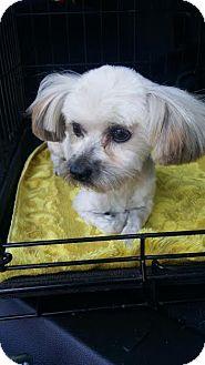 Yorkie, Yorkshire Terrier/Maltese Mix Dog for adoption in Fullerton, California - Teddy