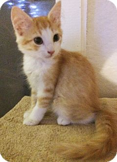 Domestic Mediumhair Kitten for adoption in Metairie, Louisiana - Morgan