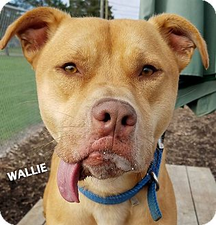 American Staffordshire Terrier/Labrador Retriever Mix Dog for adoption in Lapeer, Michigan - Wallie