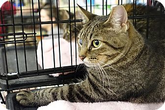 Domestic Shorthair Cat for adoption in College Station, Texas - Diamond