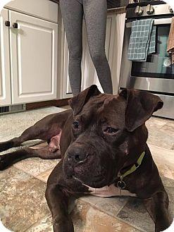 American Bulldog Mix Dog for adoption in Troy, Michigan - Ashby