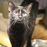 Domestic Shorthair Cat for adoption in Yukon, Oklahoma - Tuesday