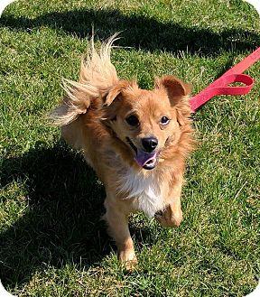 Dachshund/Chihuahua Mix Dog for adoption in Lisbon, Ohio - Bam Bam