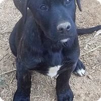 Adopt A Pet :: Bear-pending adoption - East Hartford, CT