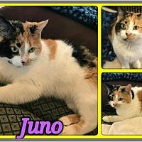 Domestic Shorthair Cat for adoption in Hastings, Florida - Juno