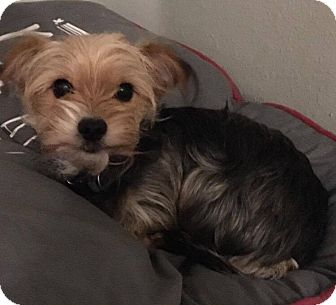 Yorkie, Yorkshire Terrier/Chihuahua Mix Dog for adoption in O Fallon, Illinois - Bruce