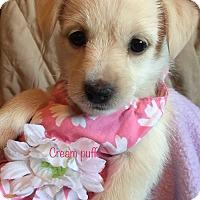 Adopt A Pet :: Cream Puff - Brea, CA