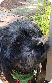 Shih Tzu/Poodle (Miniature) Mix Dog for adoption in Alpharetta, Georgia - Brielle