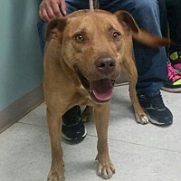 Labrador Retriever/Pit Bull Terrier Mix Dog for adoption in Union City, Tennessee - Johnboy