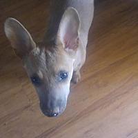 Adopt A Pet :: kong - Phoenix, AZ