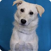 Adopt A Pet :: Carmen - Minneapolis, MN
