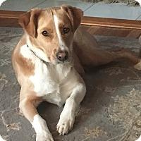 Adopt A Pet :: Brandy - Brattleboro, VT