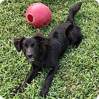 Adopt A Pet :: Lucas - Overland Park, KS