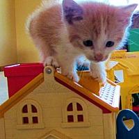 Adopt A Pet :: Ba Litter - Cheesecake - Williamston, MI