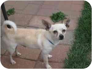 Chihuahua Dog for adoption in Rochester Hills, Michigan - Picaso