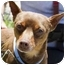 Photo 1 - Miniature Pinscher Mix Dog for adoption in Berkeley, California - Reese