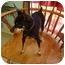 Photo 1 - Miniature Pinscher Dog for adoption in Nichols Hills, Oklahoma - Ricky