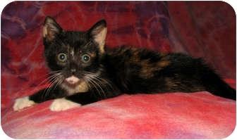 Domestic Shorthair Kitten for adoption in Norwich, New York - Rose